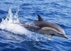 Cruise along Oman's coastline & Watch the Spectacular Dolphins in their natural habitat for OMR 12 via alatoolmuscat.com!